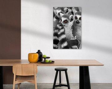 Lemuren Tiere Madagaskars