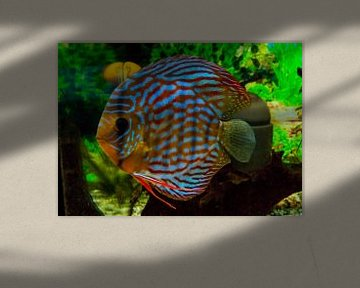Discus vis van aldino marsella