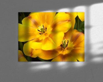 Show Tulips Yellow and Brown von David Hanlon