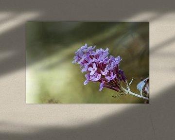violetter Sommer von Tania Perneel