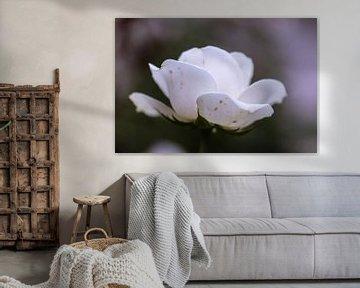 schneeweiße Rose von Tania Perneel