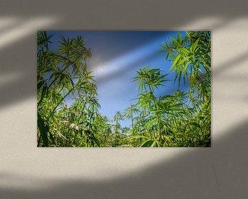 Cannabis von Günter Albers