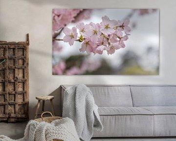 Sakura von Kees Korbee