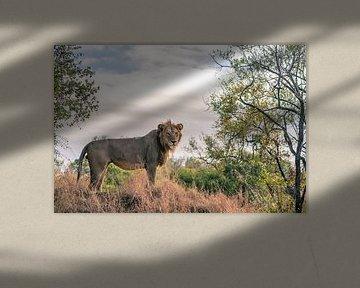 Löwenblick im Krügerpark von Luuk Molenschot