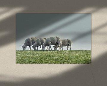 schapen op de zeedijk bij Lauwersoog