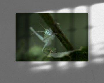 Zuidelijke boomsprinkhaan van Smeenk Fotografie