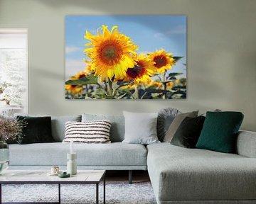 De pracht en praal van de zonnebloemen