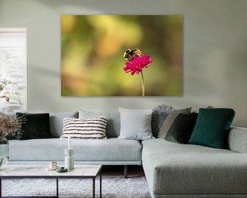 Hommel op rode beemdkroon (Knautia arvensis)