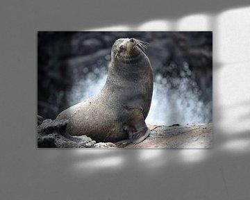 Galápagoszeeleeuw van Frank Heinen