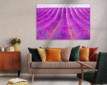 Een felle lavendel uit provence