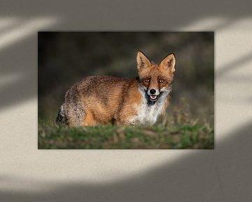 Rode vos met een doordringende blik