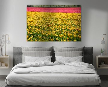 Tulips in two colors