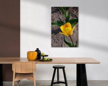 Single tulip enjoying sun