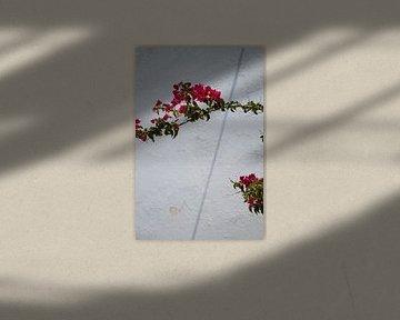 Santorini, Griechenland, Bougainvillea, Rosa Blumen. von Maud van Bussel