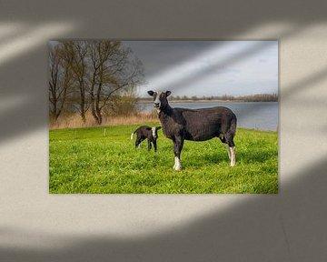 Schwarze Mutterschafe mit ihrem Lamm von Ruud Morijn