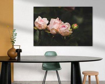 elegante Rosen von Kristof Ven