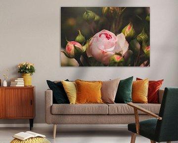 elegante Rose aus dem Garten von Kristof Ven