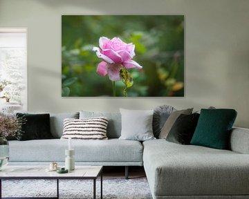 rosa Herbstrose von Tania Perneel