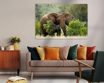 Afrikaanse olifant (Loxodonta africana) met een grote boomtak in z'n mond van Nature in Stock
