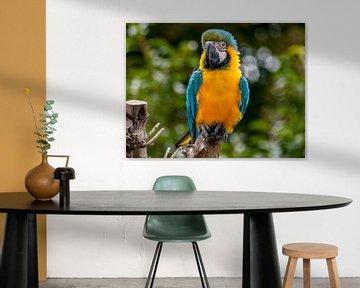 papegaai van Thomas Depauw
