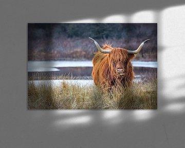 Schottischer Highlander von wilma ten Bhömer