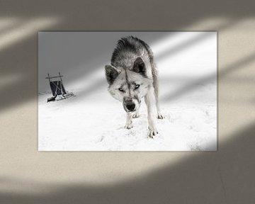 Husky at North Pole van Inge Jansen