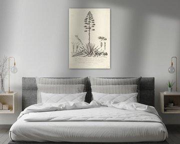 Botanische Zeichnung der blühenden Aloe oder Agavenpflanze, Abraham Delfos
