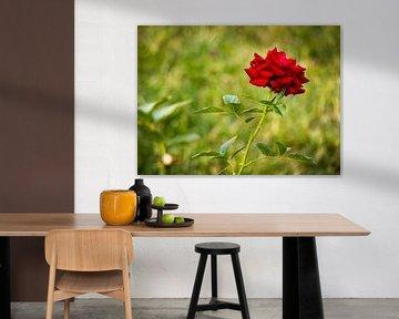 Rote Rose von Yann Mottaz Photography