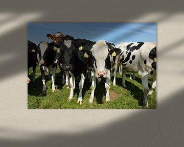 Nieuwsgierige koeien op het mooie eiland Texel, Nederland van Jeffry Clemens