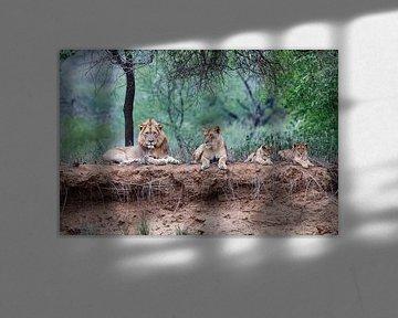 Leeuwen familie liggend op droge rivier oever, Zuid-Afrika van Nature in Stock