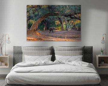 Afrikaanse olifant (Loxodonta africana) lopend over uitgedroogde rivierbedding in het vroege ochtend van Nature in Stock
