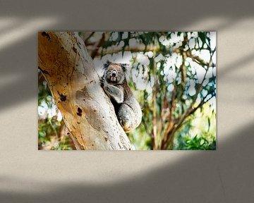 Koala im Baum von Robert Styppa