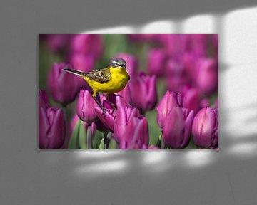 Gele Kwikstaart staand op een tulp in een tulpenveld von Menno Schaefer