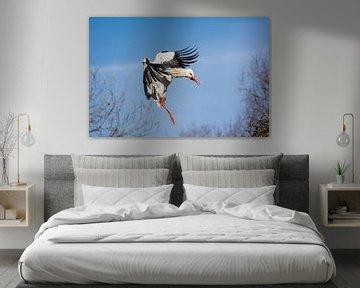 Weißstorch im Landeanflug von Tobias Luxberg