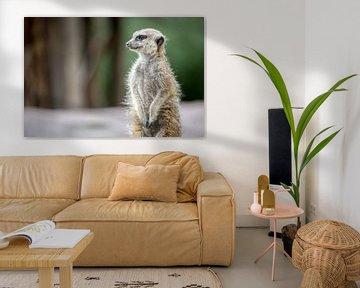 Meerkat (of stokstaartje) op de uitkijk. van Joost Adriaanse
