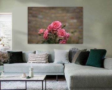 rosa Rosen, rosa Blume von harm Henstra