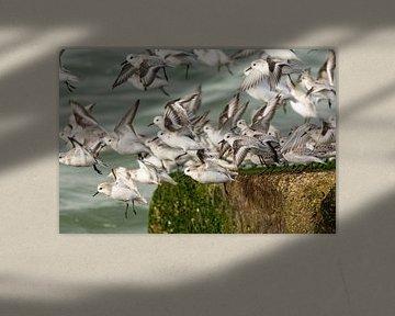 Sanderling von Caroline Pleysier