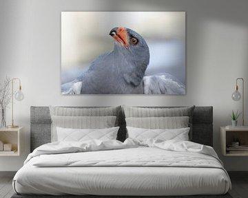 Falke aus Südafrika