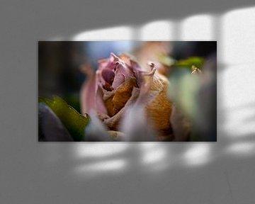 Blühende rosa Rose in Herbsttönung von Jenco van Zalk