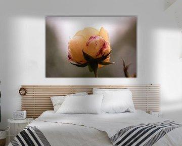 zarte orangefarbene Rose von Tania Perneel