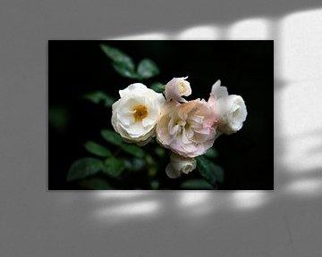 weiße Rosen von Tania Perneel