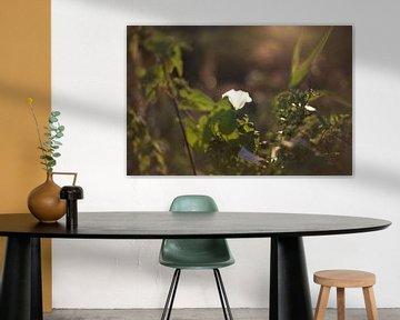 witte bloem in zonsondergang van harm Henstra