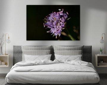 Violette Blume mit schwarzem Hintergrund von Joost Adriaanse