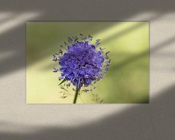 Klene lila Blume mit hellgrünem Hintergrund von Joost Adriaanse