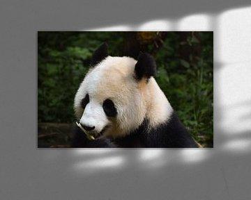 Panda essen von Kenji Elzerman