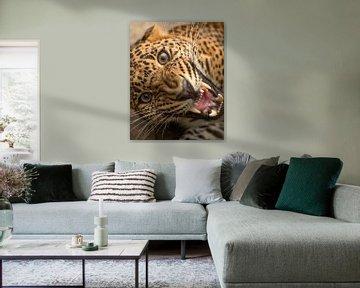 Extreme Nahaufnahme eines Leoparden von Patrick van Bakkum