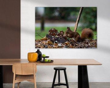 L'écureuil roux cherche de la nourriture