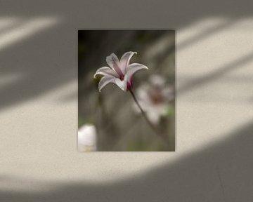 Clematisblüte von Arina Keijzer
