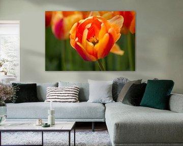 Tulpe von Joram Janssen