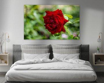 Rose von Stijn Cleynhens